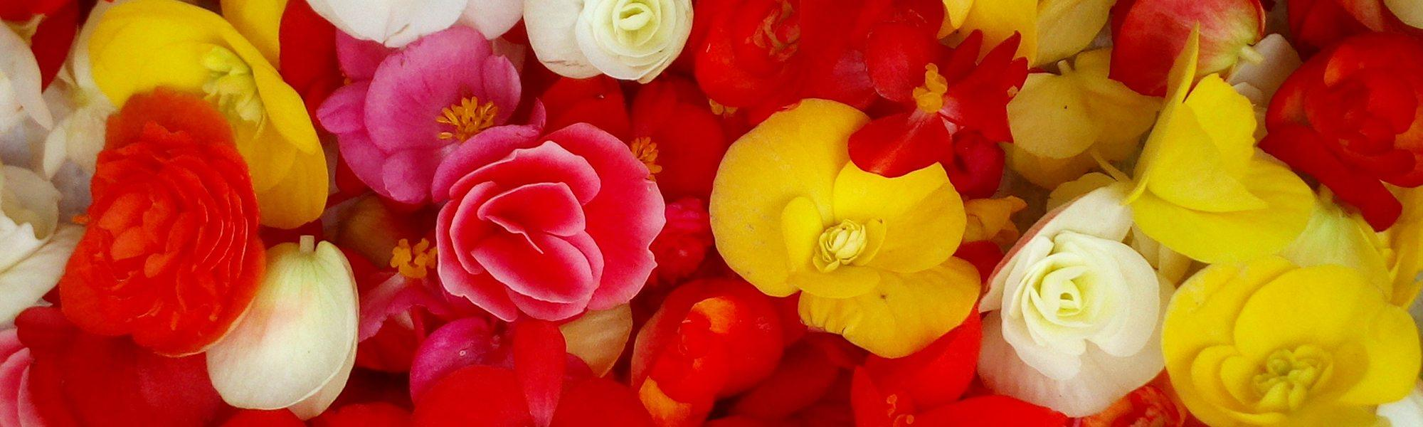 Broutilles Poitiers Begonia